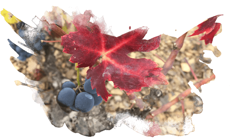 IMG Diferenciación Gallina de piel Wines